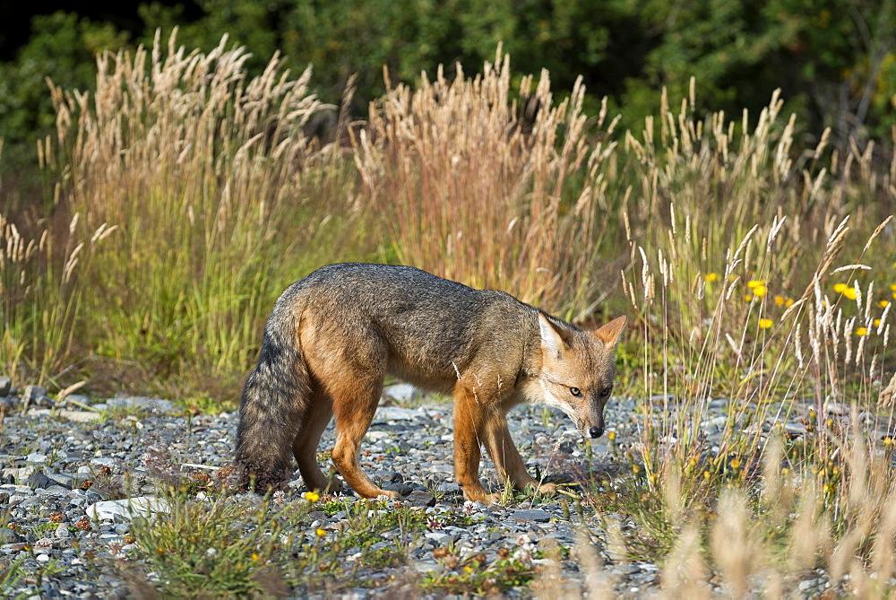 Andean fox (Lycalopex culpaeus) also , Torres del Paine National Park, Patagonia, Region de Magallanes y de la Antartica Chilena, Chile, South America