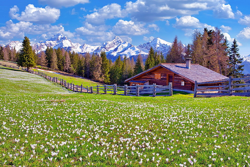 Maiensaess with flowering crocuses, behind them the snow-covered mountains Piz Ela, Corn da Tinizong, Piz Mitgel, Davos, Canton Graubuenden, Switzerland, Europe