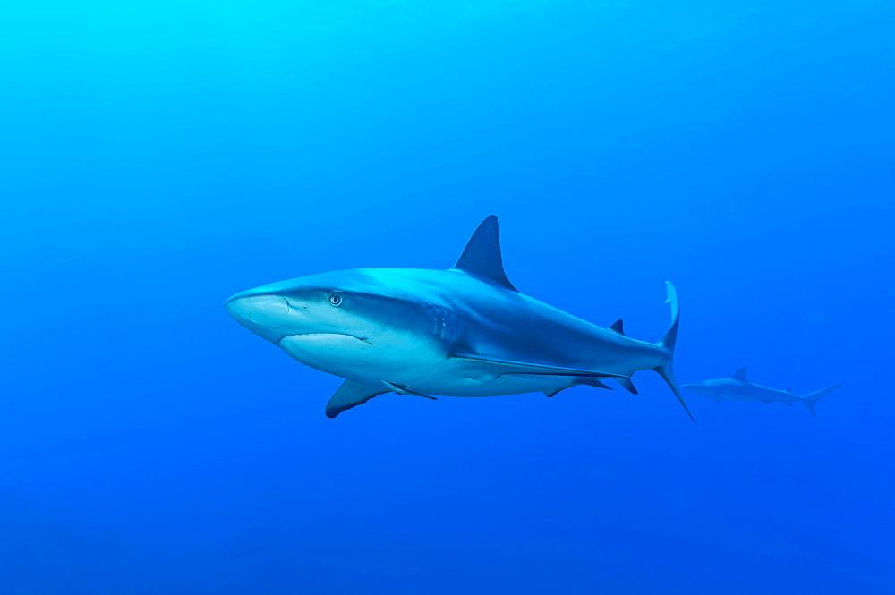 Blacktip shark (Carcharhinus limbatus), blue water, Atlantic Ocean, Caribbean, Bahamas, Central America