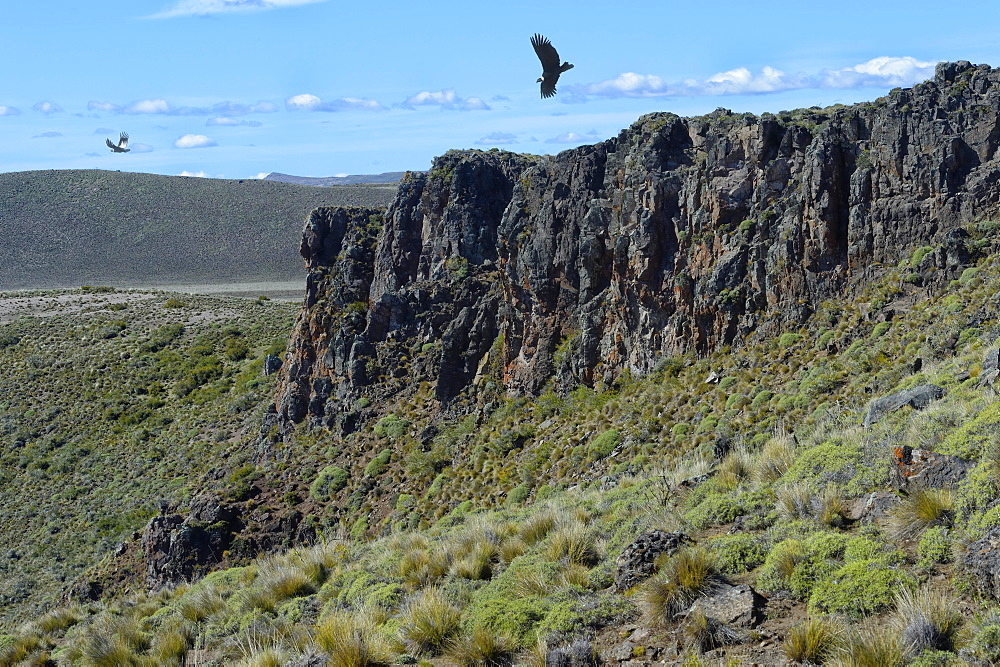 Andean Condor (Vultur gryphus) flying over high cliffs, Coyhaique Alto, Aysen Region, Patagonia, Chile, South America