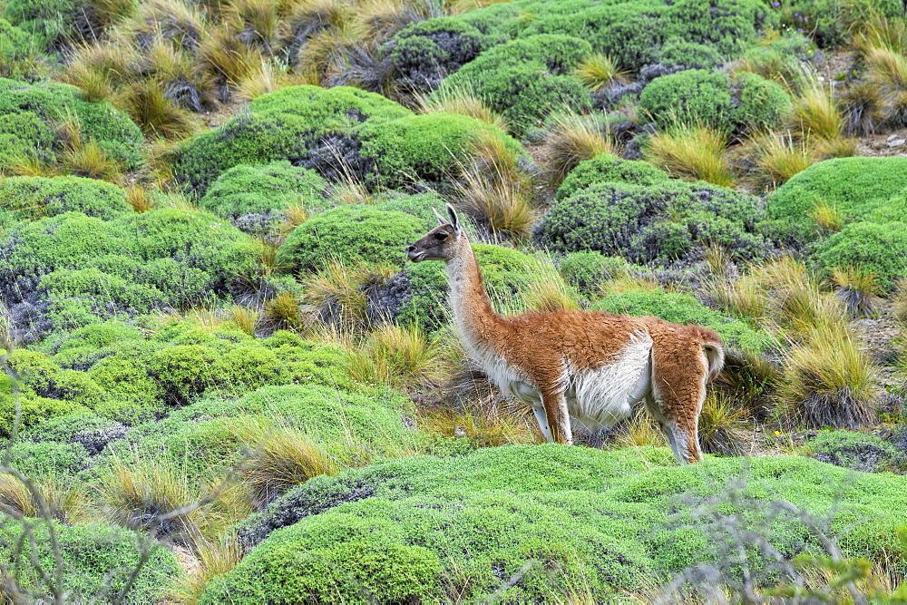 Guanaco (Lama guanicoe), Patagonia National Park, Chacabuco Valley, Aysen Region, Patagonia, Chile, South America
