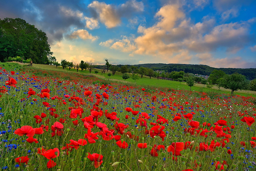 Blossoming poppy field in the morning light, Canton Zurich, Switzerland, Europe
