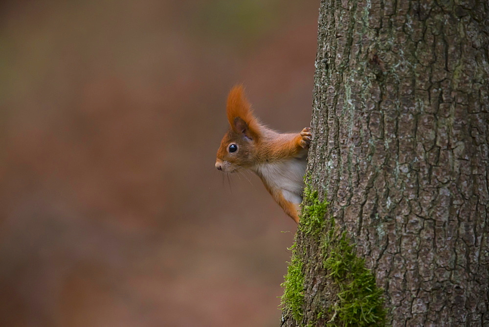 Eurasian red squirrel (Sciurus vulgaris) looks out at the tree trunk, Bavaria, Germany, Europe