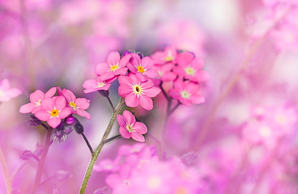 Pink Forget-me-not (Myosotis), Germany, Europe - 832-388057