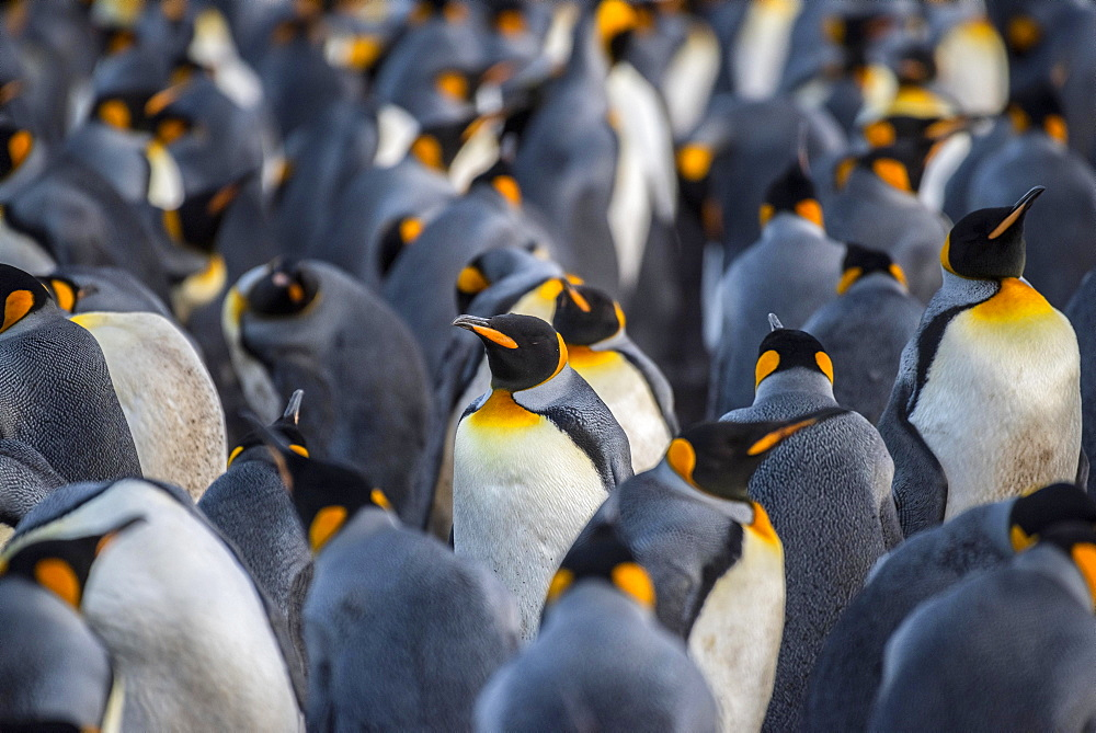 King penguins (Aptenodytes patagonicus) in a colony, Volunteer Point, Falkland Islands, United Kingdom, South America
