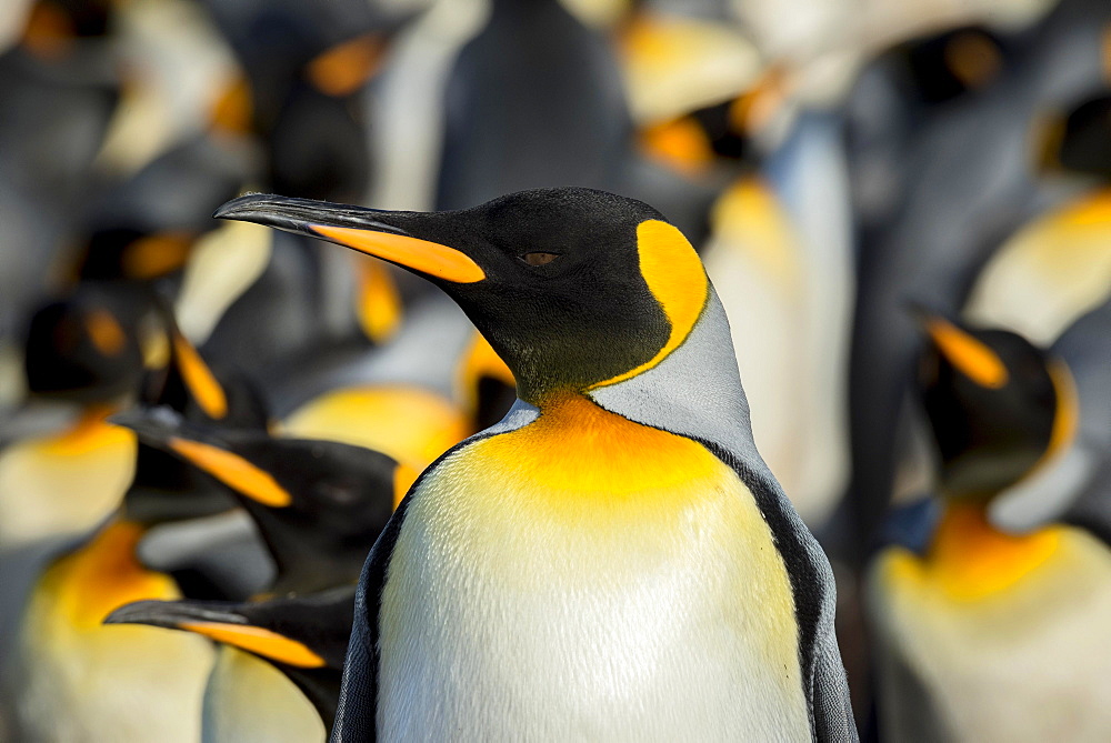 King penguins (Aptenodytes patagonicus) in a colony, portrait, Volunteer Point, Falkland Islands, South America