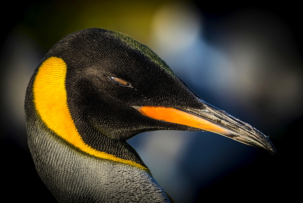 King penguin (Aptenodytes patagonicus), portrait, Volunteer Point, Falkland Islands, South America