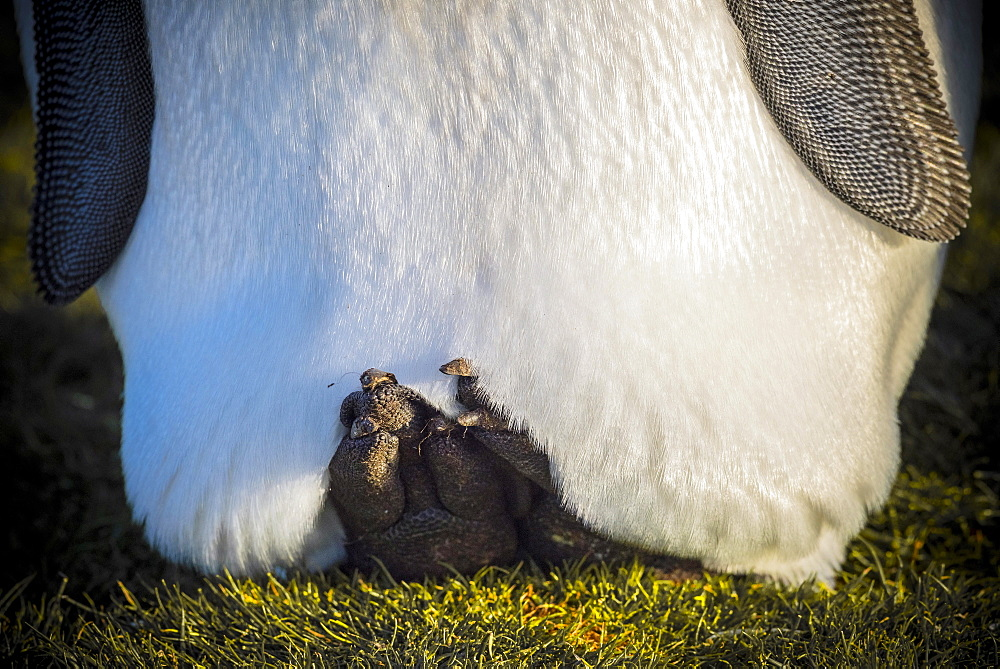 King penguin (Aptenodytes patagonicus) cools his body through elevated feet, partial view, Volunteer Point, Falkland Islands, Great Britain, South America