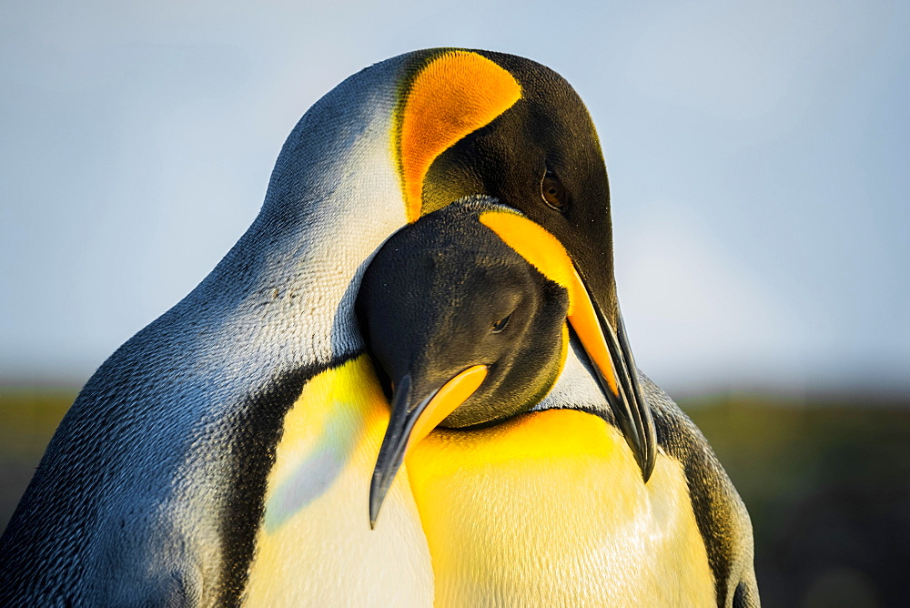 King penguins (Aptenodytes patagonicus), pair of animals, Volunteer Point, Falkland Islands, Great Britain, South America