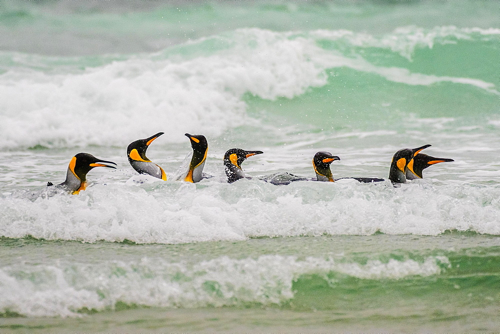 King penguins (Aptenodytes patagonicus), Group swimming in the surf, Volunteer Point, Falkland Islands, South America