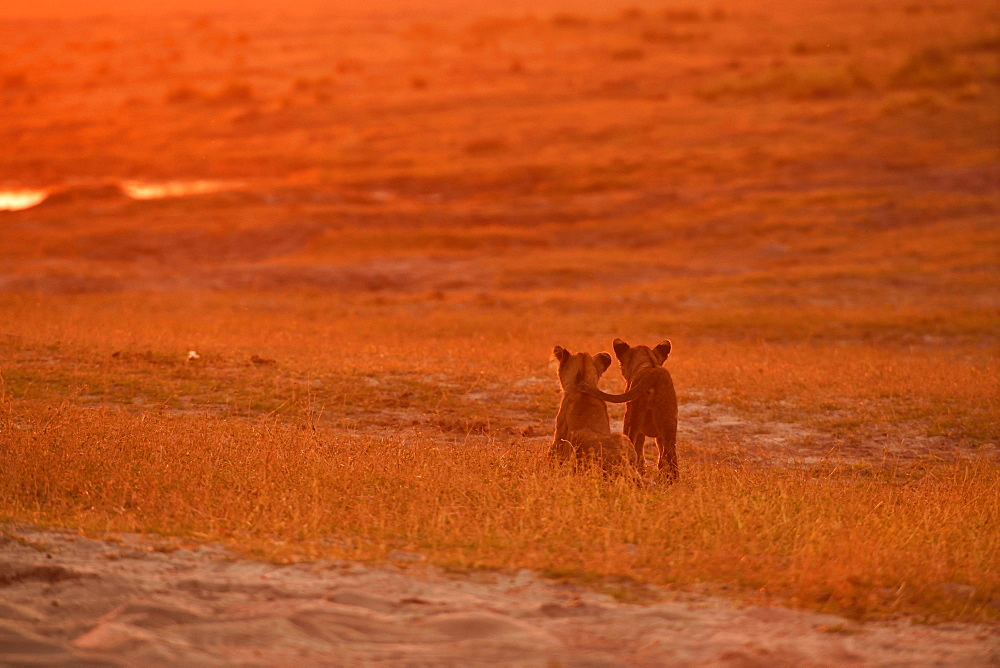 Lions (Panthera leo), two babies stand in the evening light in the grass savannah and look into the distance, Chobe National Park, Chobe District, Botswana, Africa
