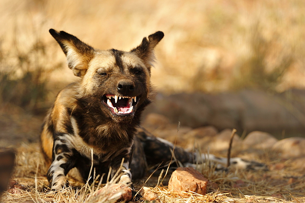African wild dog (Lycaon pictus), endangered species, shows teeth, Namibia, Africa