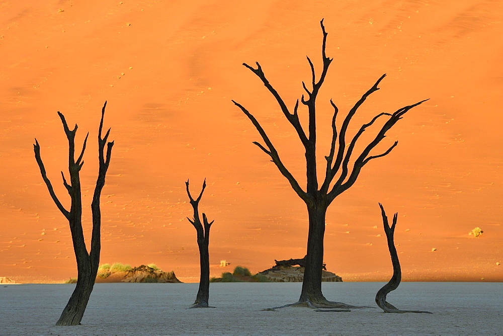Dead camelthorn trees (Acacia erioloba) in Deadvlei, Sossusvlei, Namib Desert, Namib-Naukluft National Park, Namibia, Africa