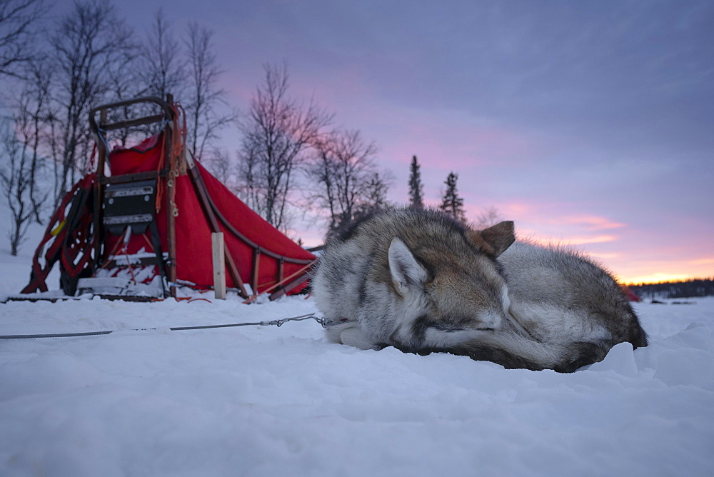 Husky next to dog sled resting in the snow at dawn, Skaulo, Norrbottens laen, Sweden, Europe