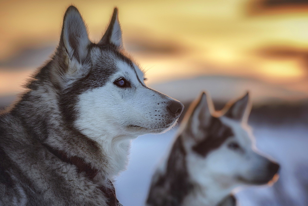 Portrait of two huskies in the morning sun, Skaulo, Norrbottens laen, Sweden, Europe
