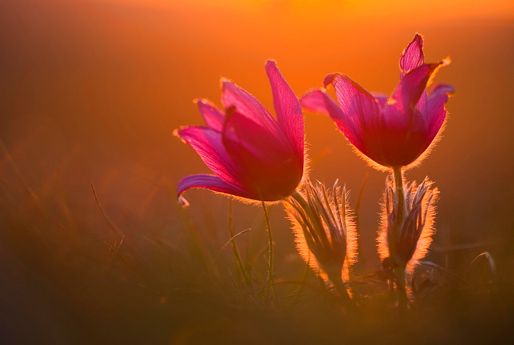 Kitchen clamps (pulsatilla vulgaris) in backlight at sunset, Bavaria, Germany, Europe - 832-388244
