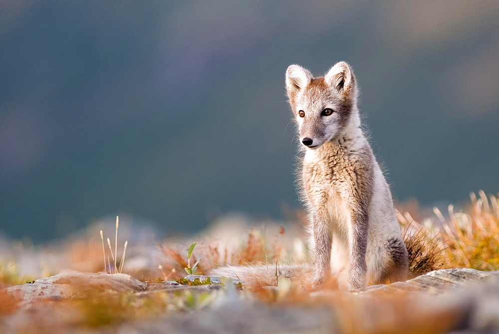Arctic fox (alopex lagopus), alert, sitting, Dovrefjell National Park, Norway, Europe