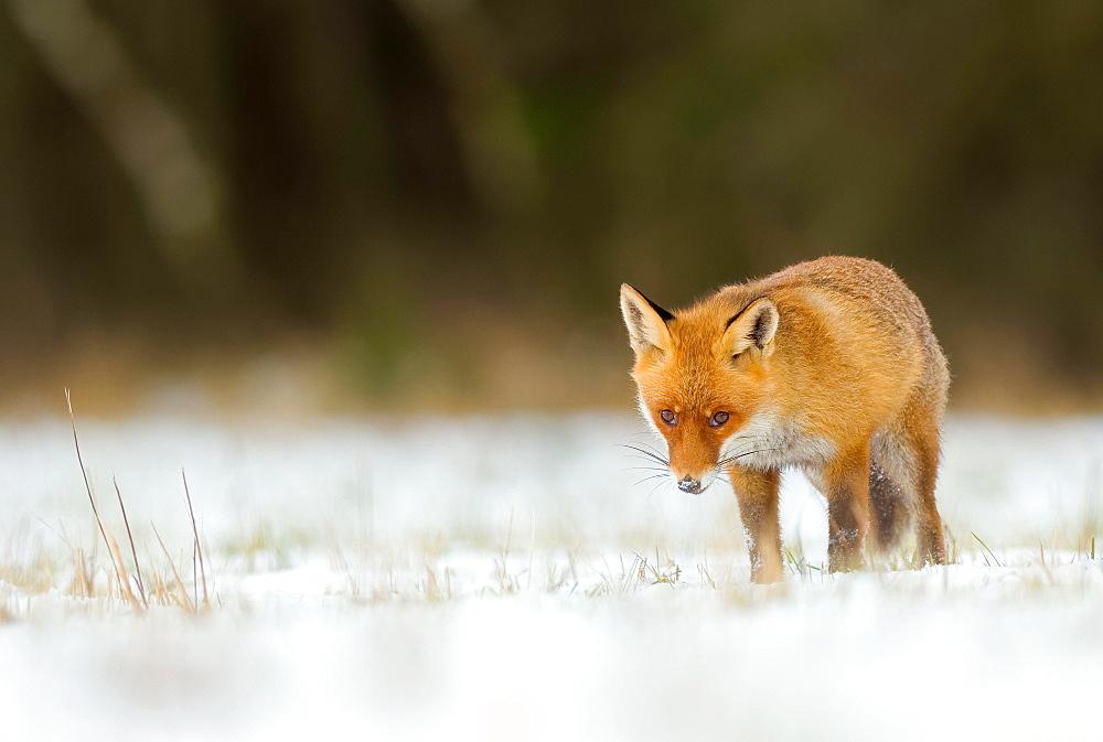 Red fox (vulpes vulpes) in snow, captive, Bohemian Forest Czech Republic