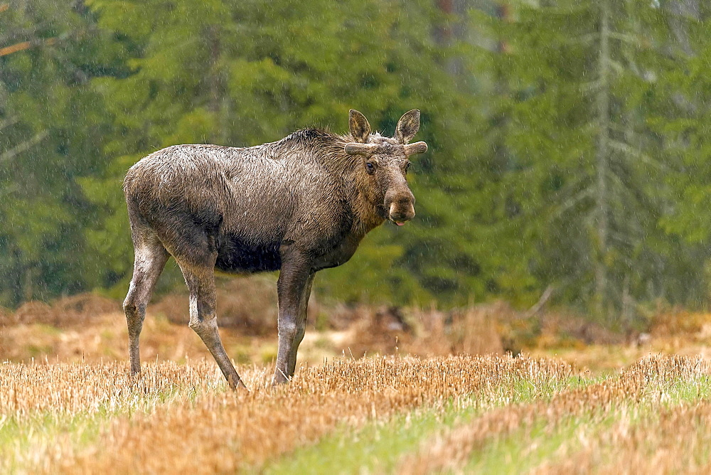 Elk (Alces alces), bull, standing on forest meadow in rain, Hedmark Province, Norway, Europe