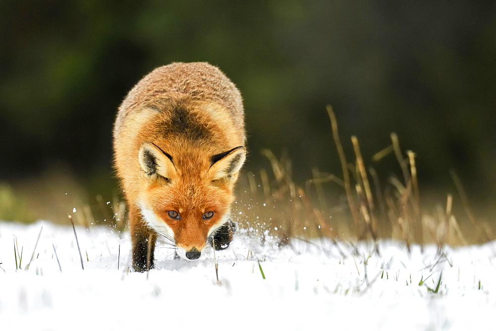 Red fox (Vulpes vulpes), runs on snow-covered meadow, captive, Switzerland, Europe