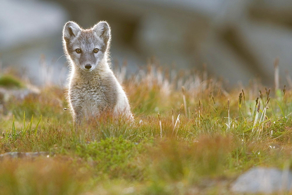 Arctic fox (alopex lagopus), young animal sitting in meadow, Dovrefjell National Park, Norway, Europe - 832-388295