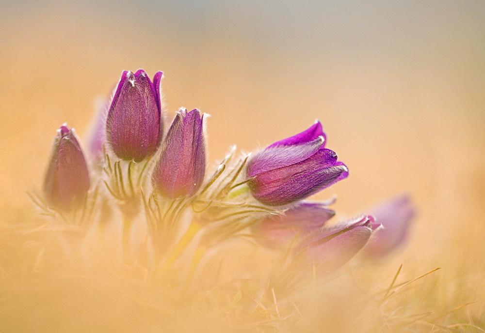 Pasque flowers (Pulsatilla vulgaris) Bavaria, Germany, Europe - 832-388297
