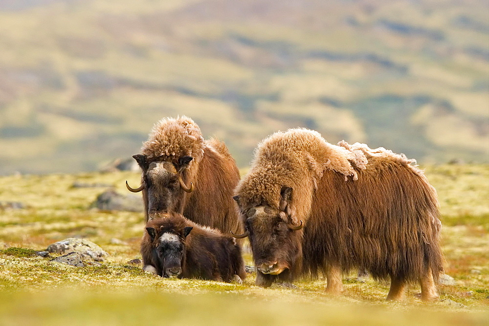 Musk oxes (Ovibos moschatus), Old animals with young animals, Dovrefjell National Park, Norway, Europe