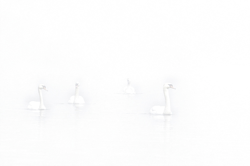 Floating Mute swans (Cygnus olor) in fog, High Key, Lower Rhine, North Rhine-Westphalia, Germany, Europe