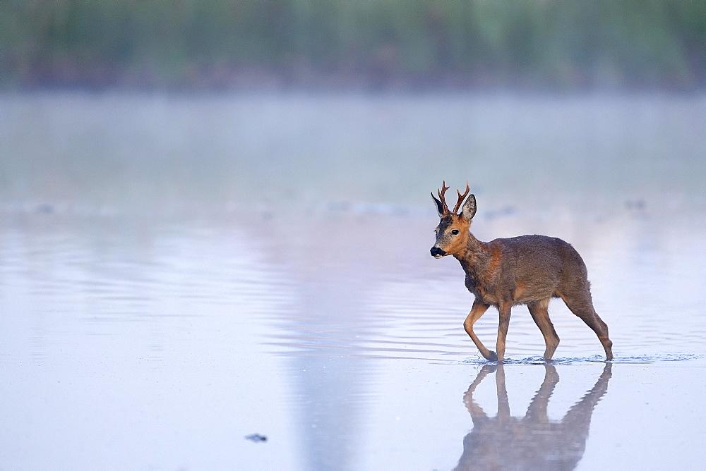European roe deerbock (Capreolus capreolus) runs through shallow water, Lower Rhine, North Rhine-Westphalia, Germany, Europe