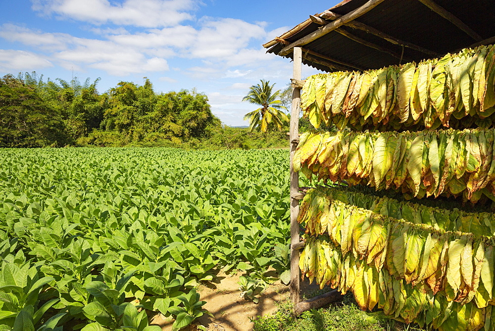 Cultivated tobacco (Nicotiana tabacum), tobacco leaves hung to dry and tobacco plantation behind, Pinar del Rio Province, Cuba, Central America