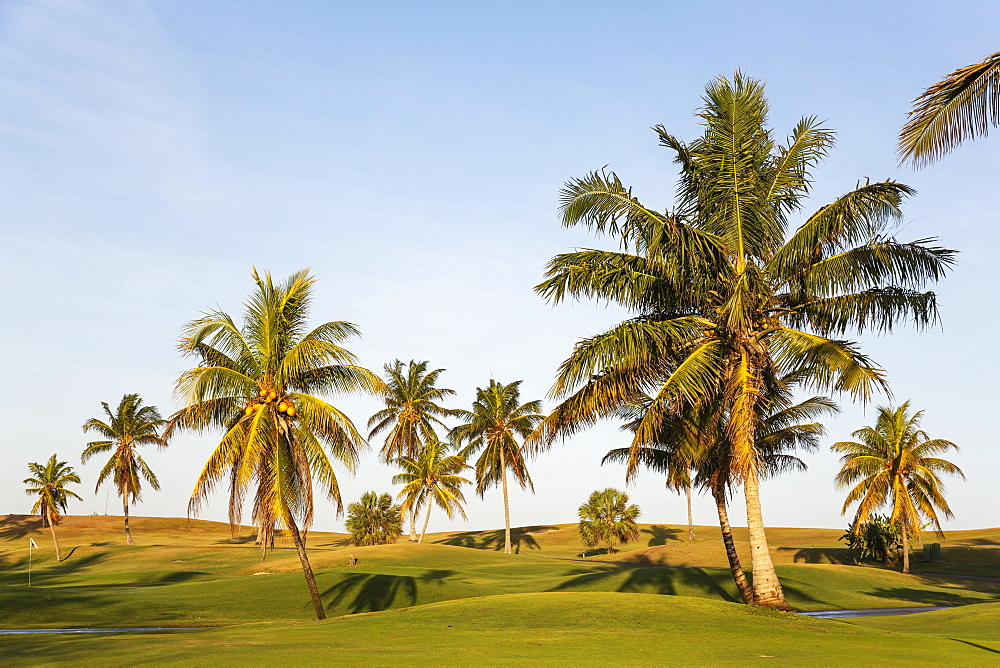 Coconut palms (Cocos nucifera) on the golf course of Varadero, Varadero, Cuba, Central America