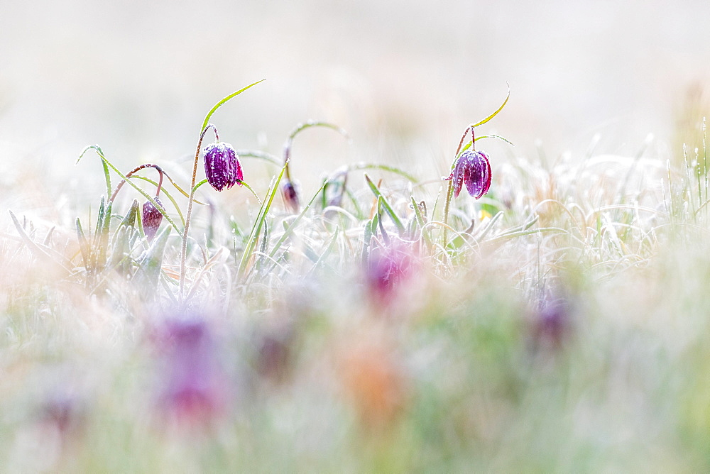 Red Snake's Head Fritillary (Fritillaria meleagris) in meadow with frost, Hesse, Germany, Europe - 832-388342