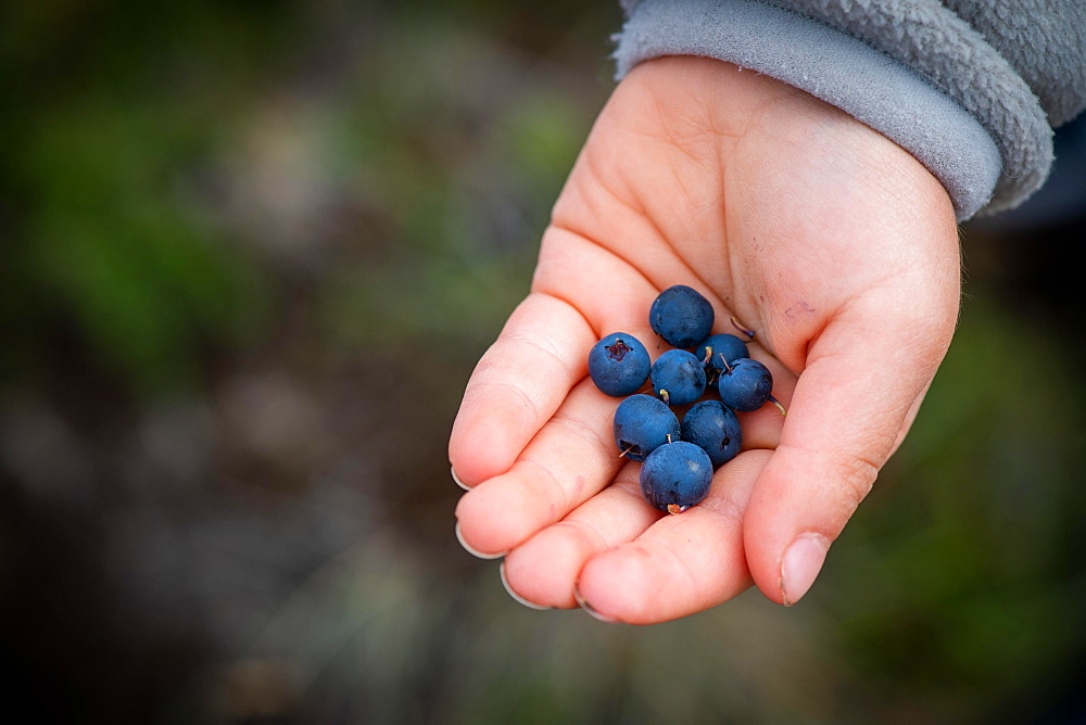Child's hand holding ripe blueberries, blueberries (Vaccinium myrtillus), Southern Iceland, Iceland, Europe - 832-388363