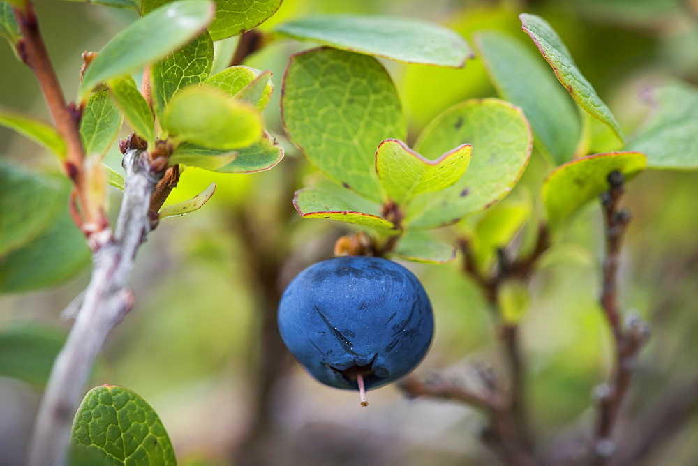 Ripe blueberry, blueberry (Vaccinium myrtillus), Southern Iceland, Iceland, Europe - 832-388364