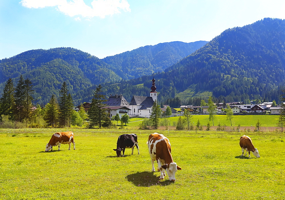 Cattle pasture with the church St.Ulrich, Sankt Ulrich am Pillersee, Pillerseetal, Tyrol, Austria, Europe