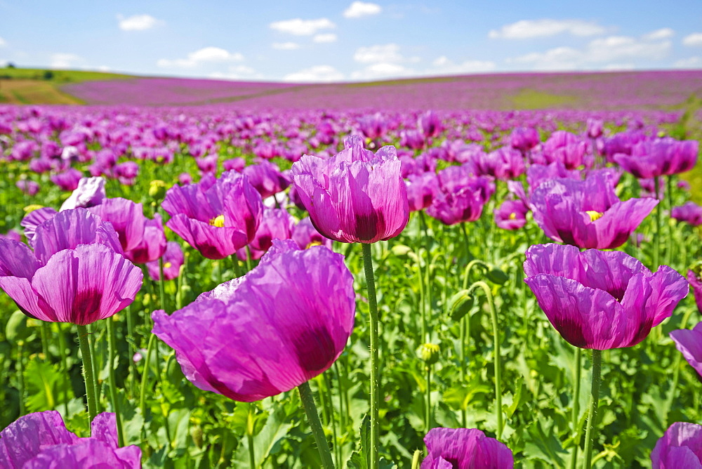 Opium poppy (Papaver somniferum) blooms on a field, Heilbronn, Baden-Wuerttemberg, Germany, Europe