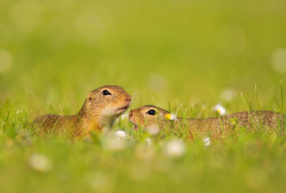 Two Suslik (Spermophilus) sniff each other on a flowering meadow, Seewinkel, Austria, Europe