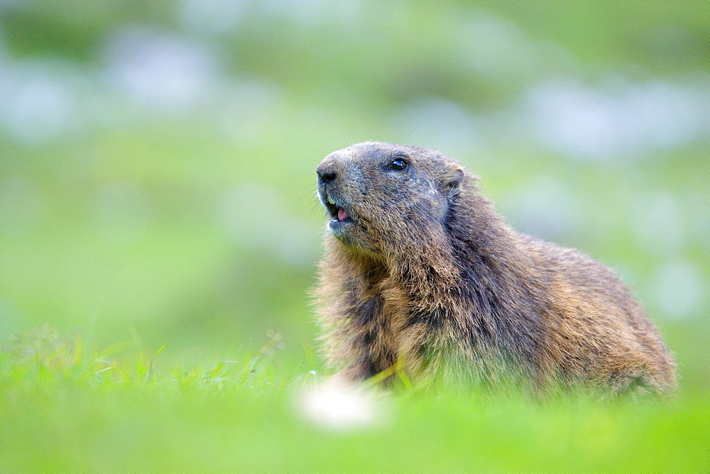 Alpine Marmot (Marmota marmota) stands attentively in a meadow, Karwendel area, Austria, Europe