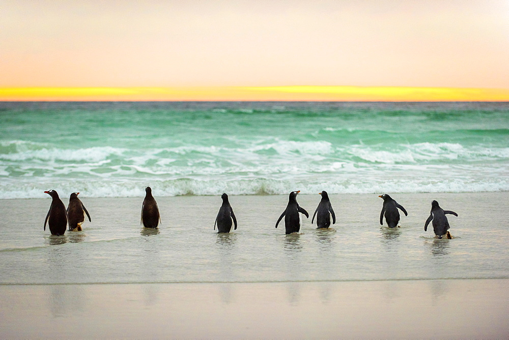 Gentoo penguins (Pygoscelis papua) on the beach in the morning light, Volunteer Point, Falkland Islands, South America