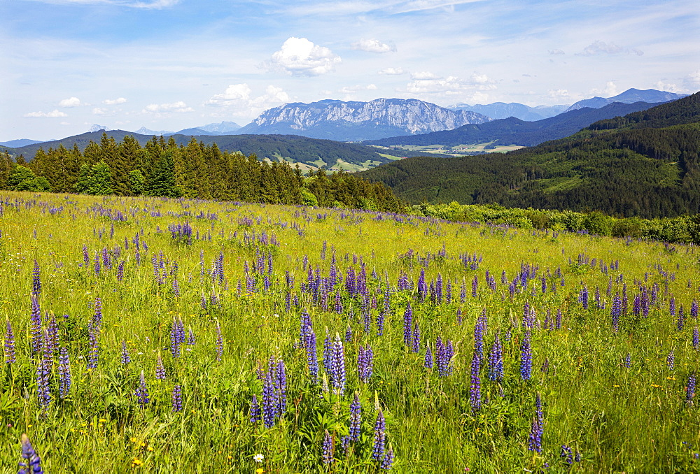 Lupines, Lupinus, multileaved lupine, lupine meadow on the high alpine pasture near Mondsee, behind it Hoellengebirge, Salzkammergut, Upper Austria, Austria, Europe