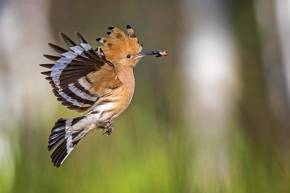 Hoopoe (Upupa epops) flying with prey, during foraging, Middle Elbe Biosphere Reserve, Saxony-Anhalt, Germany, Europe