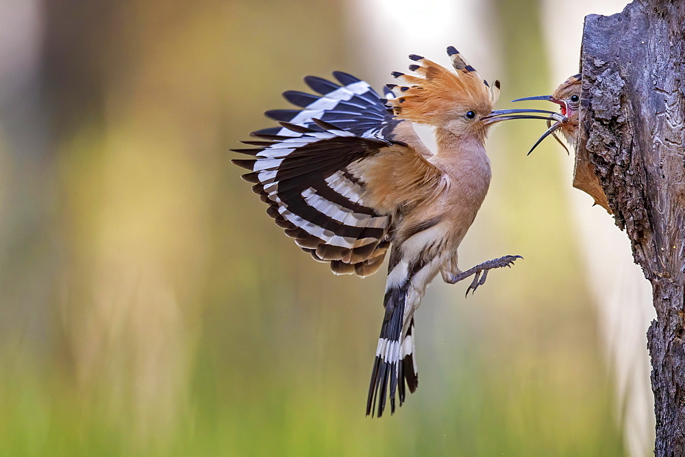 Hoopoe (Upupa epops) Old bird feeds the young bird with lizard tail, Middle Elbe Biosphere Reserve, Saxony-Anhalt, Germany, Europe