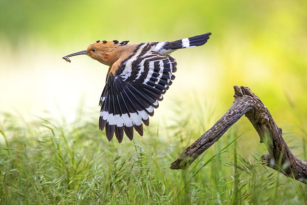 Hoopoe (Upupa epops) departure with prey in search of food, sunrise, Biosphere Reserve Mittelelbe, Saxony-Anhalt, Germany, Europe