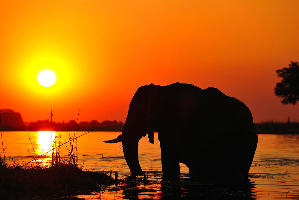Elephant (Loxodonta africana), silhouette at sunset, standing in the Chobe River, Chobe National Park, Botswana, Africa