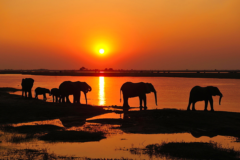 Elephants (Loxodonta africana), silhouettes at sunset, marching along the banks of the Chobe River, Chobe National Park, Botswana, Africa