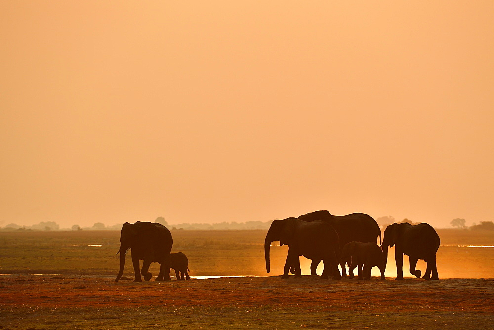 Herd of elephants (Loxodonta africana), marching in the sunset and kicking up dust, Chobe National Park, Botswana, Africa