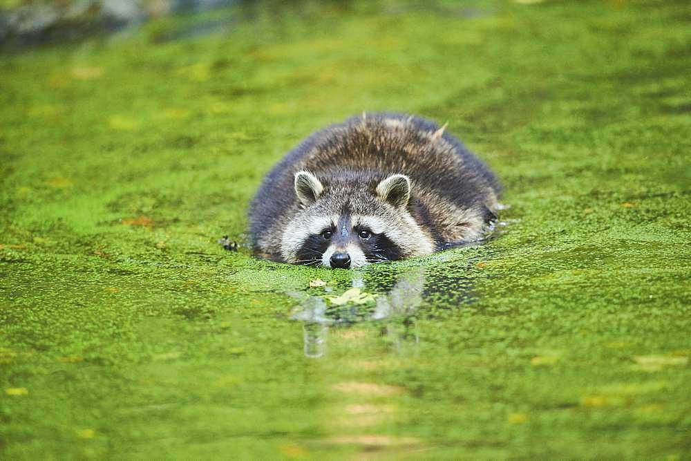 Raccoon (Procyon lotor) floating in a pond, captive, Bavaria, Germany, Europe - 832-388562