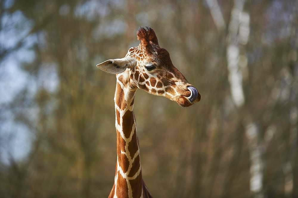 Portrait of a Reticulated giraffe (Giraffa camelopardalis reticulata), captive, Germany, Europe