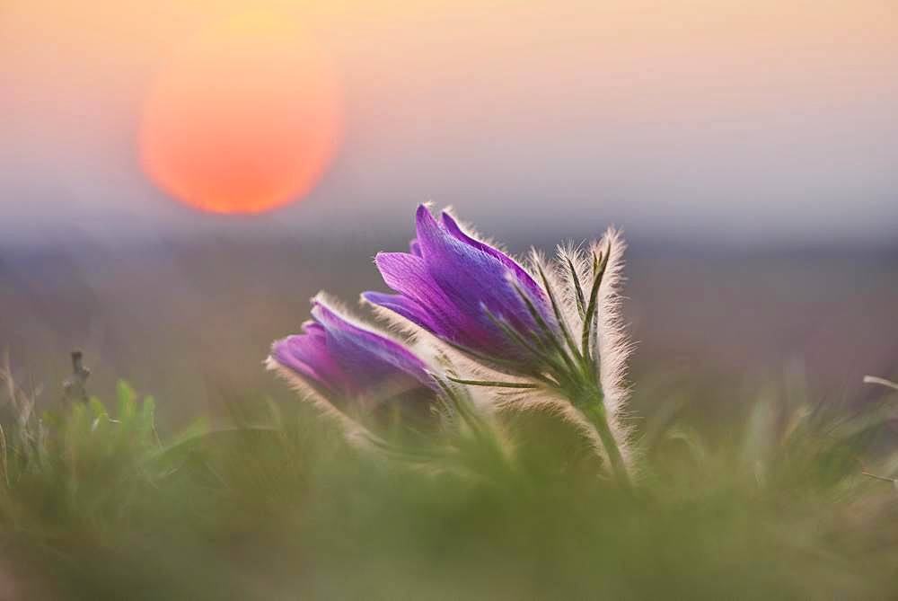 Pasque flower (Pulsatilla vulgaris ), blooming, sunset, Bavaria, Germany, Europe - 832-388568