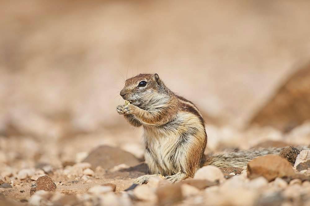 Barbary ground squirrel (Atlantoxerus getulus ) eating, Fuerteventura, Canary Islands, Spain, Europe
